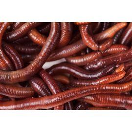 Live Dendrobaena Worms 1/4kg