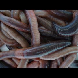 Live Lob Worms x25