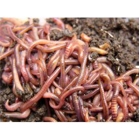 Live Medium Dendrobaena Worms (1/8kg)