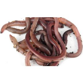 Live Lob Worms (25)